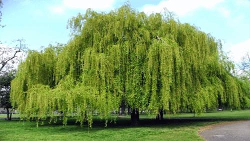 cây liễu không nên trồng trước nhà