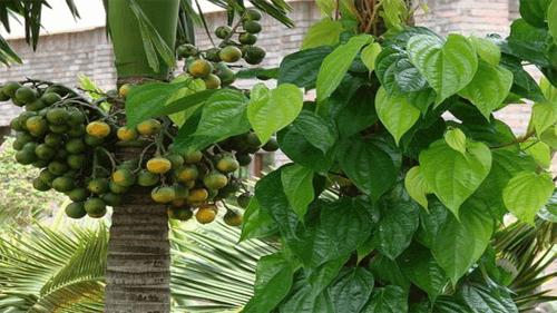 trồng cây cau phong thủy trước nhà