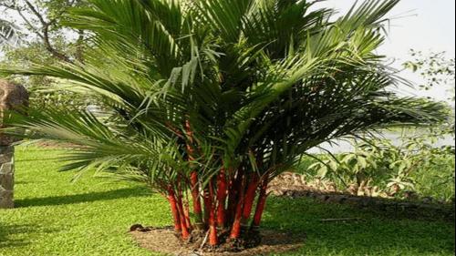 trồng cây dừa cảnh trước nhà hợp phong thủy