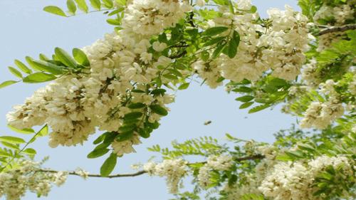 trồng cây hoa hòe phong thủy trước nhà