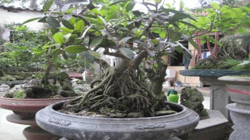 cây đa không nên trồng trước nhà